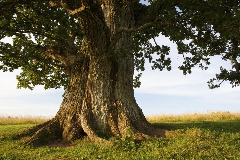 oak trees ketubah